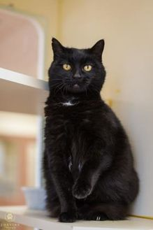Domestic Shorthair/Domestic Shorthair Mix Cat for adoption in Kennewick, Washington - Bella