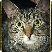 Adopt A Pet :: Satchmo - Bethpage, NY