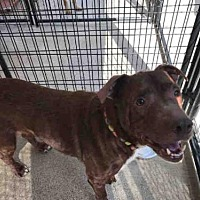 Adopt A Pet :: SCOOBY - Canfield, OH