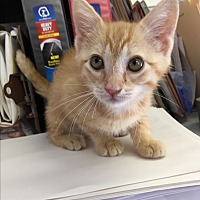 Adopt A Pet :: PUMPKIN PIE - Owenboro, KY
