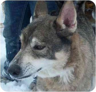 Siberian Husky Mix Dog for adoption in Freedom Township, Ohio - Dakota