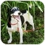 Photo 2 - Jack Russell Terrier Mix Dog for adoption in Terra Ceia, Florida - SAILOR