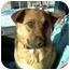 Photo 1 - Sheltie, Shetland Sheepdog/Shepherd (Unknown Type) Mix Dog for adoption in Plainfield, Illinois - Sienna