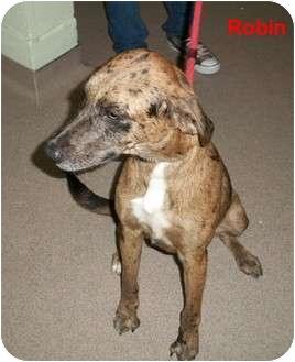 Catahoula Leopard Dog Mix Dog for adoption in Slidell, Louisiana - Robin