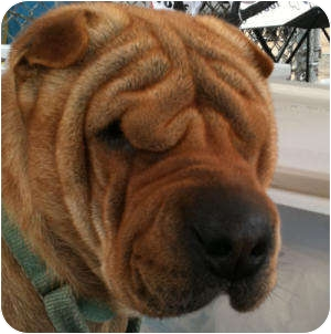Shar Pei Dog for adoption in Barnegat Light, New Jersey - Buck