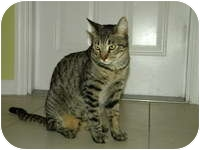 Domestic Shorthair Cat for adoption in Tampa, Florida - Jameson
