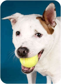 American Pit Bull Terrier Mix Dog for adoption in Chicago, Illinois - Cheli