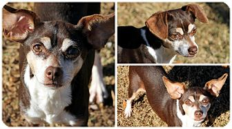 Chihuahua Mix Dog for adoption in Huntsville, Alabama - Lucy