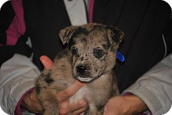 Catahoula Leopard Dog/Mountain Cur Mix Puppy for adoption in Webster, Minnesota - Jason Aldean