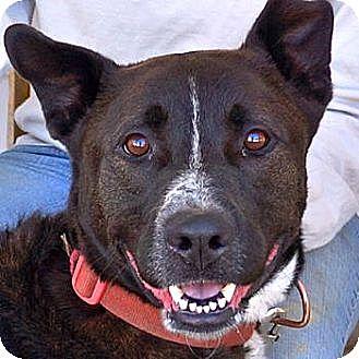 Shepherd (Unknown Type)/Akita Mix Dog for adoption in Sprakers, New York - Tuck