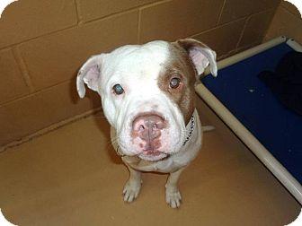 Pit Bull Terrier/American Bulldog Mix Dog for adoption in Grand Rapids, Michigan - Joe Cool