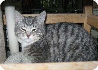 Domestic Shorthair Cat for adoption in Bonners Ferry, Idaho - Sterling