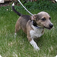 Adopt A Pet :: Ollie - Broomfield, CO