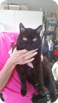 Persian Cat for adoption in Fort Wayne, Indiana - Dexter