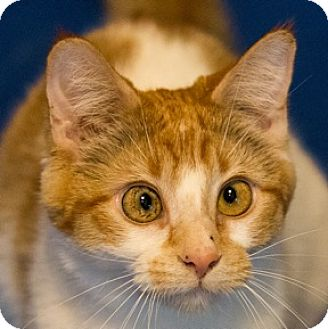 Domestic Shorthair Cat for adoption in Calgary, Alberta - Poptart
