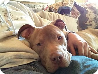 American Pit Bull Terrier Mix Dog for adoption in Naperville, Illinois - Dominick