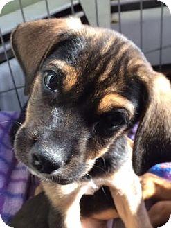 Beagle/Terrier (Unknown Type, Medium) Mix Puppy for adoption in Minneapolis, Minnesota - Harris