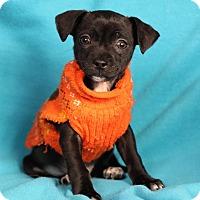 Adopt A Pet :: Enzo - Minneapolis, MN