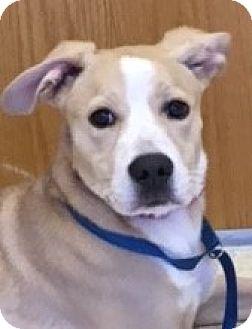 Collie Mix Puppy for adoption in Schaumburg, Illinois - Gemma-adoption pending
