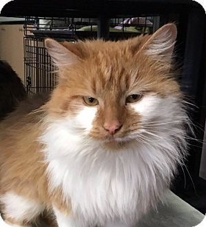 Domestic Longhair Cat for adoption in Battle Creek, Michigan - Madison