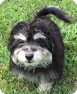 Havanese Puppy for adoption in Fairview Heights, Illinois - Huckleberry