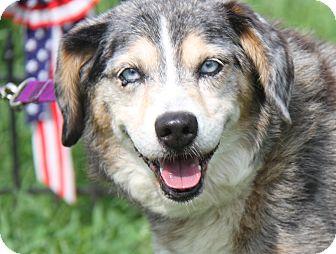 Catahoula Leopard Dog/Australian Cattle Dog Mix Dog for adoption in Marietta, Ohio - Sky King (Neutered)