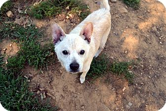 Shiba Inu/Chihuahua Mix Dog for adoption in Broadway, New Jersey - Jasper
