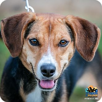 Beagle Mix Dog for adoption in Evansville, Indiana - Breann