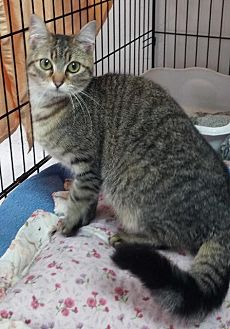 Domestic Shorthair Cat for adoption in Jefferson, Texas - Monkey