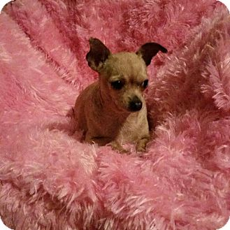 Chihuahua Mix Dog for adoption in Houston, Texas - Ginny
