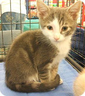 Domestic Shorthair Kitten for adoption in Vacaville, California - Sherman
