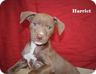 Labrador Retriever Mix Puppy for adoption in Westminster, Colorado - Harriet
