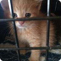 Adopt A Pet :: Orange Kittens - Clay, NY