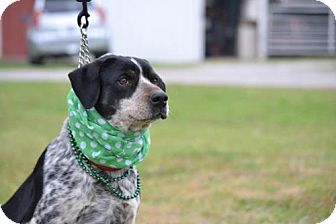 Australian Cattle Dog/Catahoula Leopard Dog Mix Dog for adoption in Whitewright, Texas - Madeline