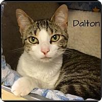 Domestic Shorthair Cat for adoption in Jasper, Indiana - Dalton
