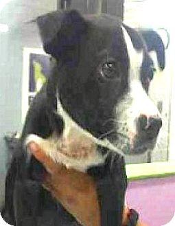Labrador Retriever/Boxer Mix Puppy for adoption in Boulder, Colorado - Jax-ADOPTION PENDING