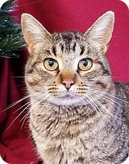 Domestic Shorthair Cat for adoption in Colfax, Iowa - Owen