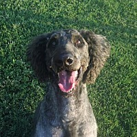 Poodle (Standard)/Labrador Retriever Mix Dog for adoption in Spartanburg, South Carolina - Jackson of Georgia