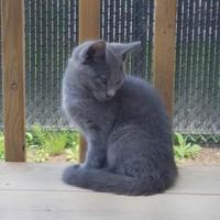 Adopt A Pet :: WHISKERS - THORNHILL, ON