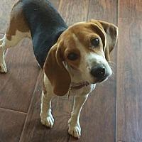 Adopt A Pet :: Bella #1262 - Arlington Heights, IL