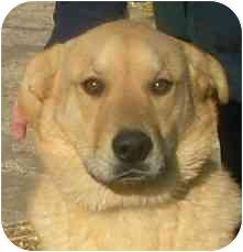 Labrador Retriever Mix Dog for adoption in Fulton, Missouri - Major