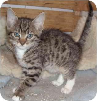 Domestic Shorthair Kitten for adoption in Davis, California - Milky Way