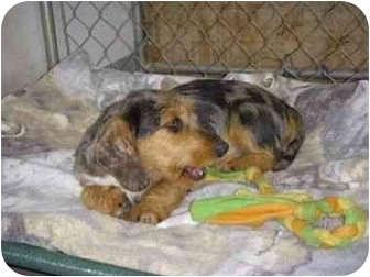 Dachshund/Terrier (Unknown Type, Small) Mix Dog for adoption in Stockton, Missouri - Trip