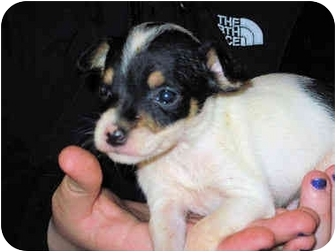 Chihuahua/Jack Russell Terrier Mix Puppy for adoption in Mahwah, New Jersey - Truffle