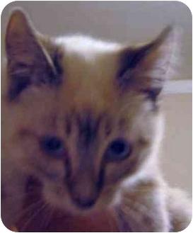 Siamese Kitten for adoption in Davis, California - Blossom