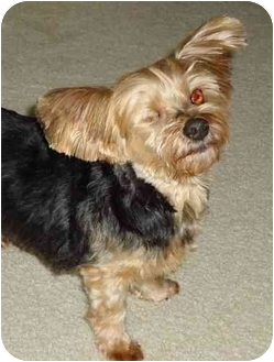 Yorkie, Yorkshire Terrier Dog for adoption in Charlotte, North Carolina - Spencer