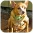 Photo 1 - Chihuahua Mix Dog for adoption in Portland, Oregon - Tick