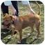 Photo 3 - American Staffordshire Terrier Dog for adoption in West Warwick, Rhode Island - Tessa