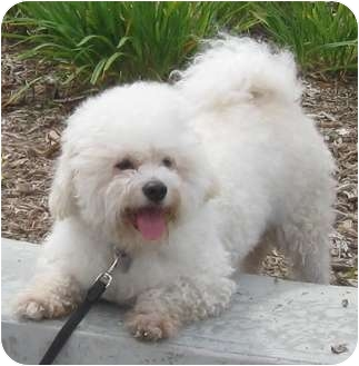 Bichon Frise Dog for adoption in Spring Valley, California - Jeffrey