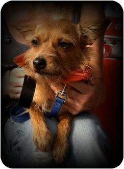 Terrier (Unknown Type, Small) Mix Dog for adoption in Encinitas (San Diego), California - Jersey